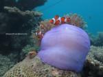 Ikan Nemo (2)