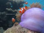 Ikan Nemo (1)